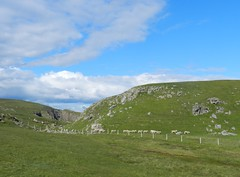 """""""Follow you, follow me"""", Strathy, Sutherland, July 2015 (allanmaciver) Tags: blue green contrast fence point scotland sheep north follow leader sutherland bleat strathy fertle allanmaciver"""
