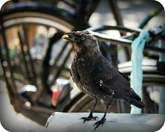 (ingehoogendoorn) Tags: bird birds eating vogels bikes feedingthebirds blackbird fietsen vogel jackdaw kauw dutchbikes