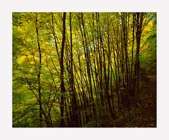 Let's go autumn - Fuji Velvia 50 4x5 (Francesco1983nikon) Tags: autumn fuji foliage velvia 4x5 50 autunno e6 largeformat analogica filmphotography rodenstock 10x12 analouge shenhao4x5 dainippon1045