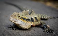 Australia Male Eastern Water Dragon (sydbad) Tags: macro male water dragon australia brisbane eastern lonepinekoalasanctuary sonya7 ilce7 sel2470z