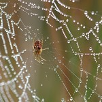 spider and dewy cobweb