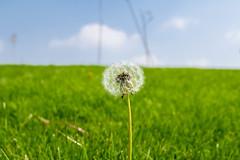 Le Pissenlit d'un Rve (- Ali Rankouhi) Tags: park blue sky white flower green water fire iran dandelion tehran    pissenlit      2015 1394