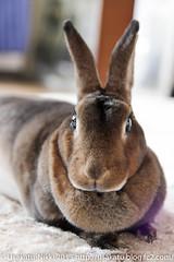 IMG_3268-1 (Rabbit's Album) Tags: pet rabbit bunny animals  choco   minirex    canonx7i x7i sigma1750mmf28exdcoshsmcanon