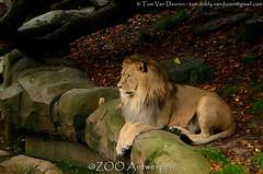 Afrikaanse leeuw - Panthera leo leo - African Lion (MrTDiddy) Tags: male mammal zoo kat feline leo african lion antwerp antwerpen grote nestor leeuw panthera mannelijk zoogdier afrikaanse grotekat bigcatbigcatzoo