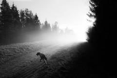 (Svein Skjåk Nordrum) Tags: road light bw dog white nature misty fog landscape haze woods noir explore nero explored