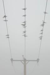 Gulls in the Mist (Stephen Marriott) Tags: mist weather fog seagull gulls 5milesfromhome donisthorpecountrypark