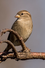 House Sparrow, Cumberland County, PA (Blackrock23) Tags: nature wildlife sparrow housesparrow nikond810 nikon200500