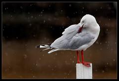 Silver Gull - Larus novaehollandiae (Ian Colley Photography) Tags: paradisepoint silvergull larusnovaehollandiae