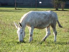 """DSCF8480 Parco Nord - Una fattoria! Niente """"Brusca e Striglia"""" (Franz Maniago) Tags: tori cavalli toro mucche asinello asini bovini animalidomestici animalidafattoria bruscaestriglia animalidigrossataglia"""
