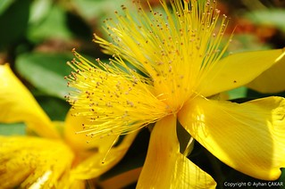 Wild Yellow Yalova