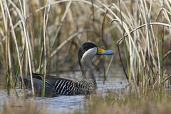 Silver Teal (featherweight2009) Tags: birds ducks waterfowl falklandislands teals silverteal anasversicolorfretensis