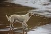 Salvador, Bahia (loesch.) Tags: dog cachorro pet love cutie cute beach praia fofo animal mar sea water