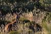 Cerf dans les hautes herbes (Patrice Baud) Tags: cerf cerfélaphe cervus deer reddeer hirsch cerdagne pyrénées montagne wild wildlife sauvage mammifère herbivore bois ciervo nikond7100 nikkor300f4