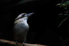 King Fisher (Jukai Fujiki) Tags: sony a6000 ilce6000 selp18105g wildlife animals birds king fisher white colors winter outdoor outside hongkong peaceful nature dark grey harmony light leisure licht life lonesome naturaleza cinematic vivid black national shadow