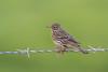 Sobre la verde hierba (sergio estevez) Tags: aves bisbita color desenfoque bokeh fauna hierba pajaros kenko15x naturaleza posadero nikonafs300mmf4 verde sergioestevez