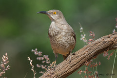 Curve Billed Thrasher (Jmawnster) Tags: toxostomacurvirostre curvebilledthrasher thrasher laguna seca ranch