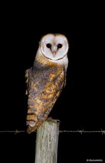 Coruja-das-torres | Barn Owl | Lechuza común (Tyto alba)
