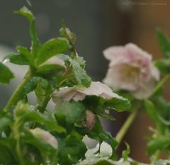 Winter (Natali Antonovich) Tags: winter christmasholidays christmas snow frost nature tervuren belgium belgique belgie flowers