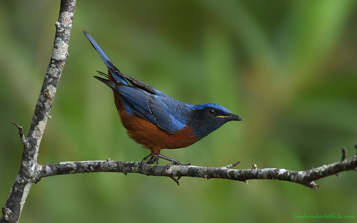นกกระเบื้องท้องแดง / Chestnut-bellied Rock-Thrush (male) / Monticola rufiventris