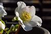 Hellebores (Yorkey&Rin) Tags: 1月 2017 em5 flower hellebores inmygarden january japan kanagawa leicadgmacroelmarit45f28 macro olympus rin t1103833 winter クリスマスローズ゙ マクロ 庭 冬