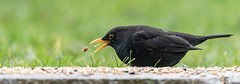 Blackbird  |  Amsel (Natural Photography by CJH) Tags: blackbird black bird amsel garden garten feed food nut seed throw flip chuck flick tongue zunge grass green grun gras back schwarz vogel natural wildlife nature wild nikon d500 telephoto 300mm pf f4 300mmf4 300f4 nikkor pfedvr tc14eiii contrast