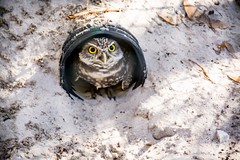 Don't come a step closer! (Dr. Farnsworth) Tags: bird owl small cute burrowingowl orlando audubon center fl florida winter january2017 flickrsbest ngc nationalgeographic fantasticnature