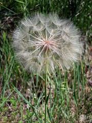 Badlands National Park (pr0digie) Tags: southdakota badlands nationalpark macro closeup dandelion seeds