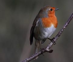The little Thinker (Cal Killikelly) Tags: small garden bird robin burton mere portrait wildlife wirral rspb