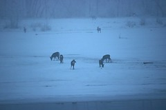 Deer in the fog (Jessie T*) Tags: rabbitisland thompsonriver kamloopsbc canada fog winter snow island deer