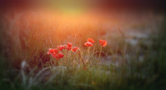 Summr Nights... (KissThePixel) Tags: poetry poet quote summer sunlight sunset field depthoffield delicate flower flowers wildflower poppy poppies red sunshine meadow nikon