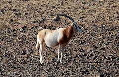 Oryx - Antilope (vil.sandi) Tags: oryxantilope extinctinthewildsince2000 oryxdammah scimitaroryx scimitarhornedoryx