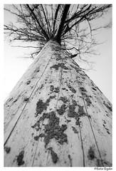 Looking Up (Bogdan_b) Tags: romania codlea tree sony a6000 samyang 12mm black white bw