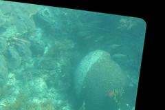 37. Brain-like coral at John Pennekamp (Misty Garrick) Tags: johnpennekamp johnpennekampreef johnpennekampcoralreefstatepark coralreef florida keylargofl keylargo floridakeys atlanticocean
