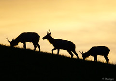 Trio of Tule Elk (Omnitrigger) Tags: mercedcounty hillside incline omnitrigger mammal wildlife nature trio silhouette morninglight dawn sanluisreservoir grasslands california elk tuleelk