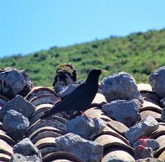 Alpine Chough - Asturias Province (daniellewootton) Tags: alpinechoughnorthernspain yellowbilledchough bird spain alpine chough birdspotting rooftiles asturiasprovince