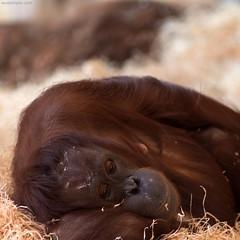 relaxing (ewaldmario) Tags: affe orangutan scbr schönbrunn tiergarten zoo zoovienna wien österreich at ewaldmario animal ape great sleeping tired powernapping fur red square composition pongopygmaeus sad dof focus