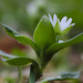 Chickweed at the fields of Oftersheim