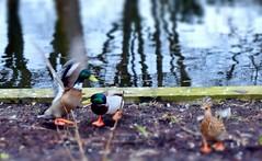Arguments (farmspeedracer) Tags: march nature pond animal bird duck mallard quarrel fight park wednesday