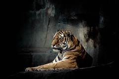 brookfield zoo. december 2014 (timp37) Tags: winter zoo illinois december tiger brookfield 2014