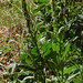 Verbascum thapsum