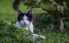 cat (08) (Vlado Ferenčić) Tags: cats animals cat croatia catsdogs podravina hrvatska nikkor8020028 nikond600 canceledgroup