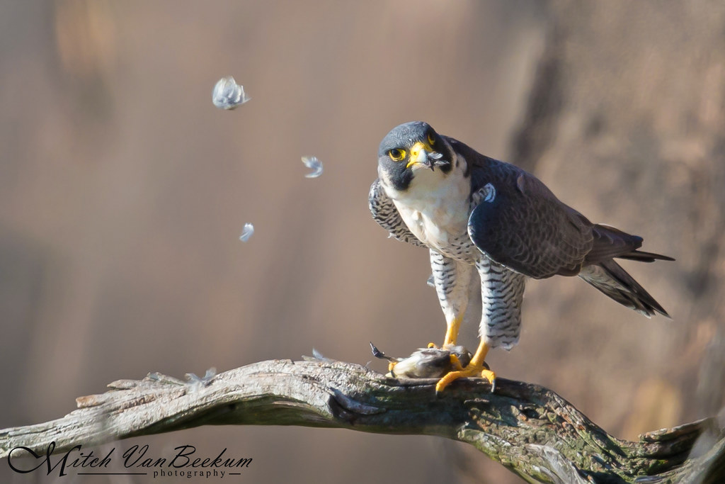 Tastes Like Chicken! (Peregrine Falcon)