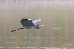 Great Blue Heron flyby