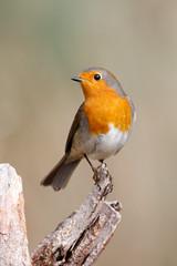 _F0A8808.jpg (Kico Lopez) Tags: birds rio spain erithacusrubecula feeder aves galicia hide lugo petirrojo mera elveral