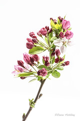 Blossom Study 1 on white (loobyloo55) Tags: pink flowers white flower green spring blossom