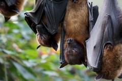 Flying fox / Pteropus sp (omgdolls) Tags: zoo sp flyingfox wilhelma pteropus