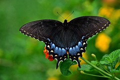Eastern Tiger Swallowtail (female-dark form) (deanrr) Tags: summer nature butterfly bokeh outdoor alabama lantana easterntigerswallowtail 2015 morgancountyalabama