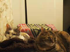 P5150002 (Raccoon Photo) Tags: cats cute sisters funny catsisters sissies adoptacat