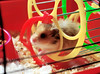Gucio at home (pyza*) Tags: new boy pet animal rodent kid furry critter small hamster hammie syrianhamster gucio