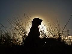 Sunshine ..x (Lisa@Lethen) Tags: sky dog pet beach sunshine labrador outdoor dunes sunny